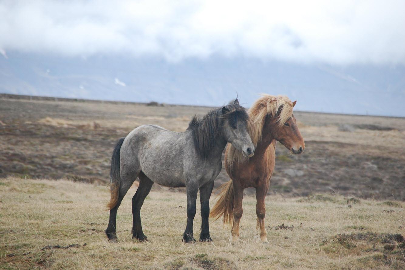 Guide pratique tour Islande chevaux sauvages