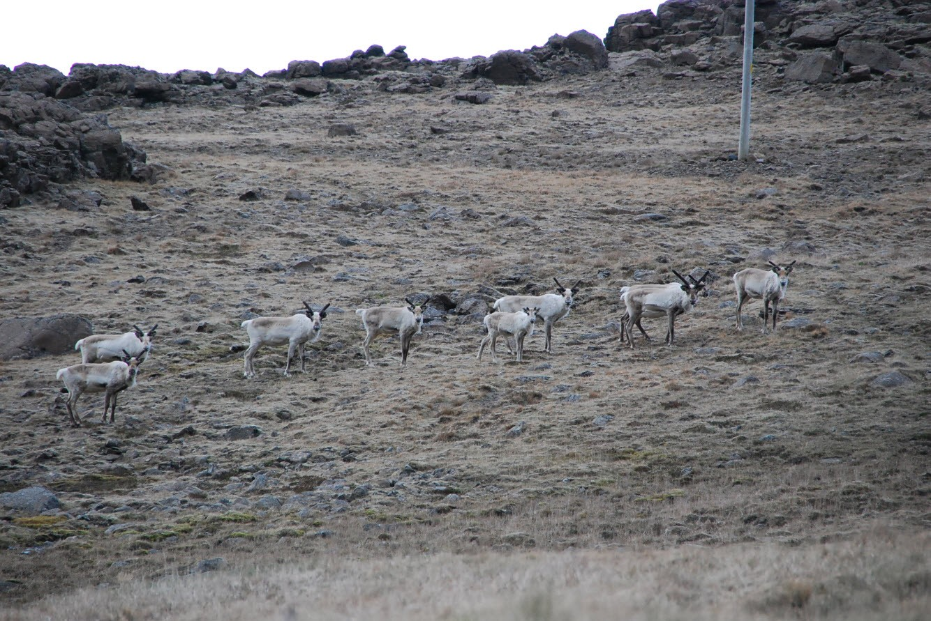 Itineraire tour Islande animaux sauvages East Iceland